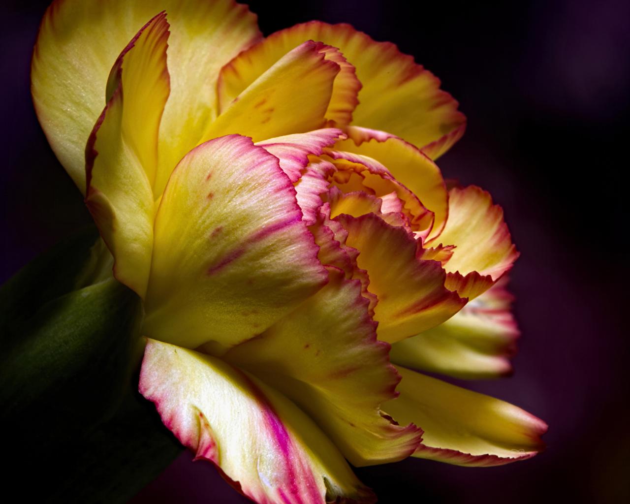 Обои для рабочего стола цветок гвоздика на черном фоне Крупным планом Цветы Гвоздики вблизи Черный фон