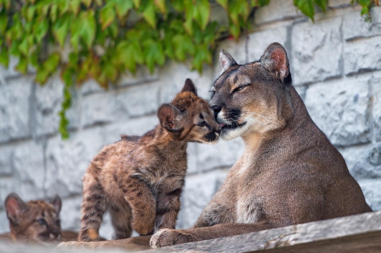 Обои Пумы Детеныши Животные животное