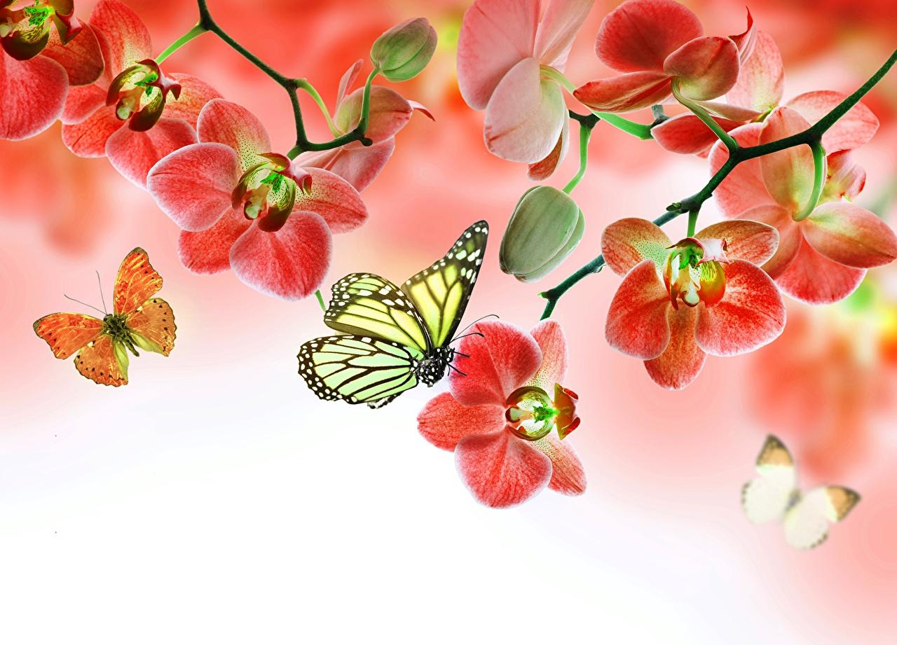 Картинки Данаида монарх Бабочки Орхидеи Цветы бабочка орхидея цветок