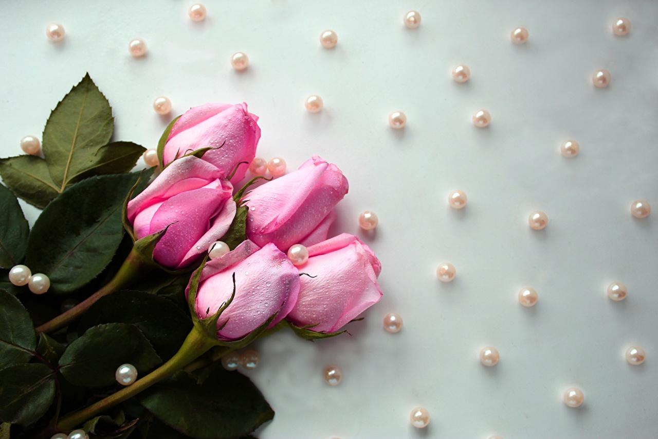 Обои Жемчуг Розы Розовый Цветы Капли