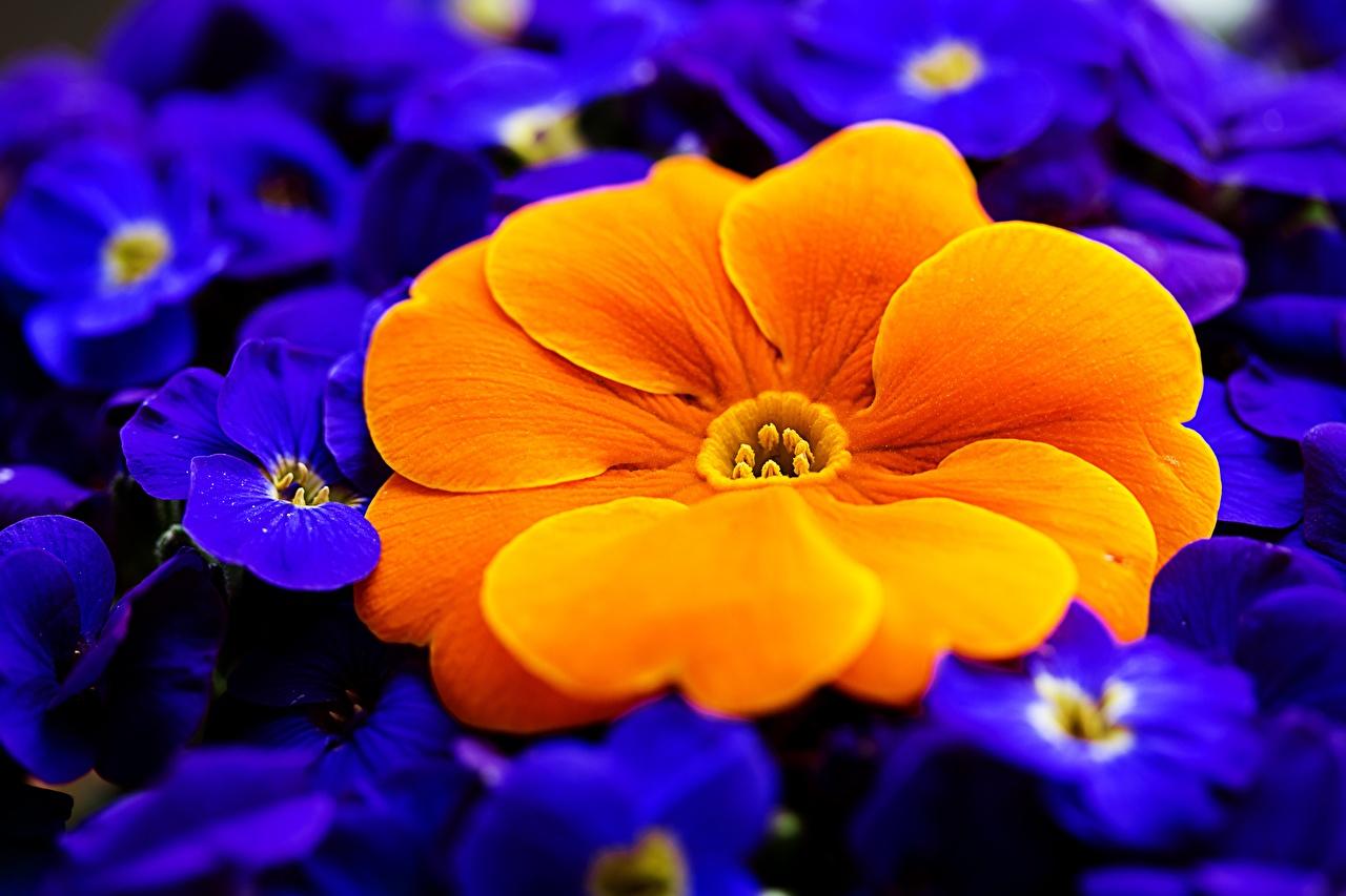 Картинка Оранжевый Макро Цветы Примула вблизи Первоцвет Макросъёмка Крупным планом