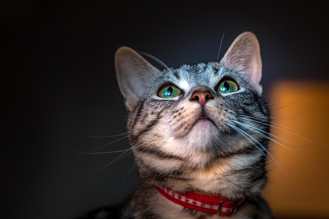Картинка коты Усы Вибриссы Морда смотрит животное кот кошка Кошки морды Взгляд смотрят Животные