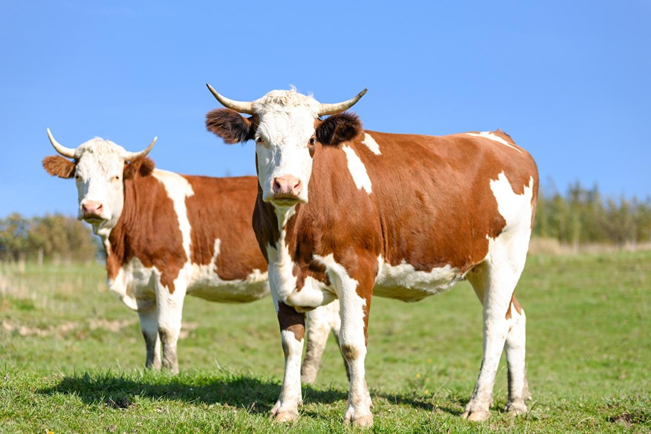Обои для рабочего стола коровы Рога 2 траве Взгляд животное Корова с рогами два две Двое вдвоем Трава смотрит смотрят Животные