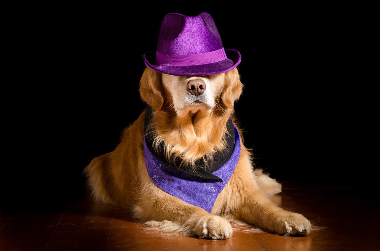 Обои для рабочего стола Золотистый ретривер Собаки лежа шляпе лап животное собака Лежит лежат лежачие шляпы Шляпа Лапы Животные