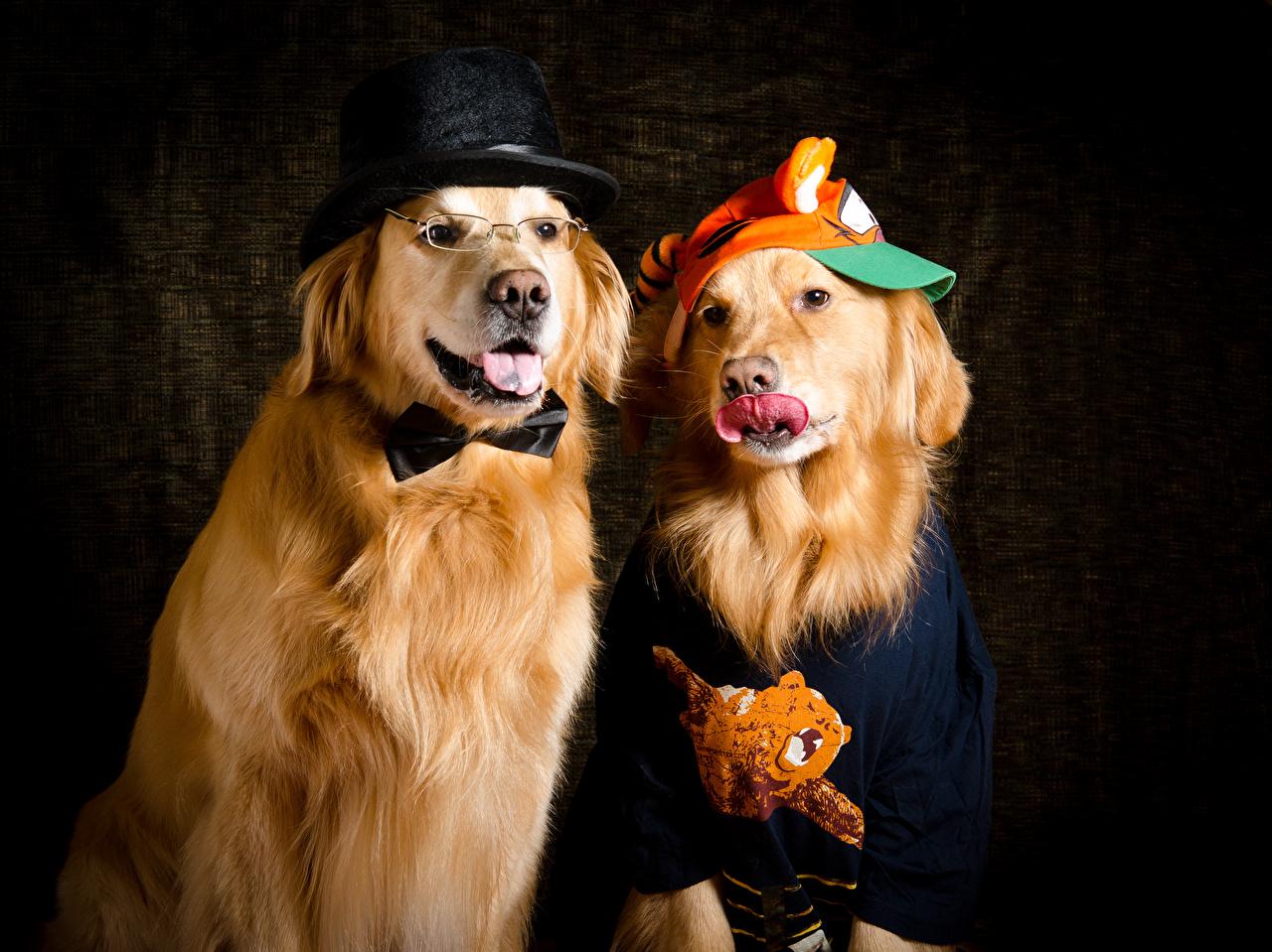 Фото Золотистый ретривер Собаки 2 шляпе Животные собака две два Двое шляпы Шляпа вдвоем животное