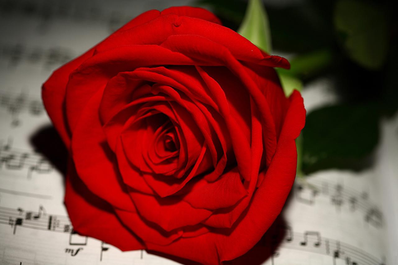 Фотография Ноты роза красных цветок вблизи Розы Красный красная красные Цветы Крупным планом