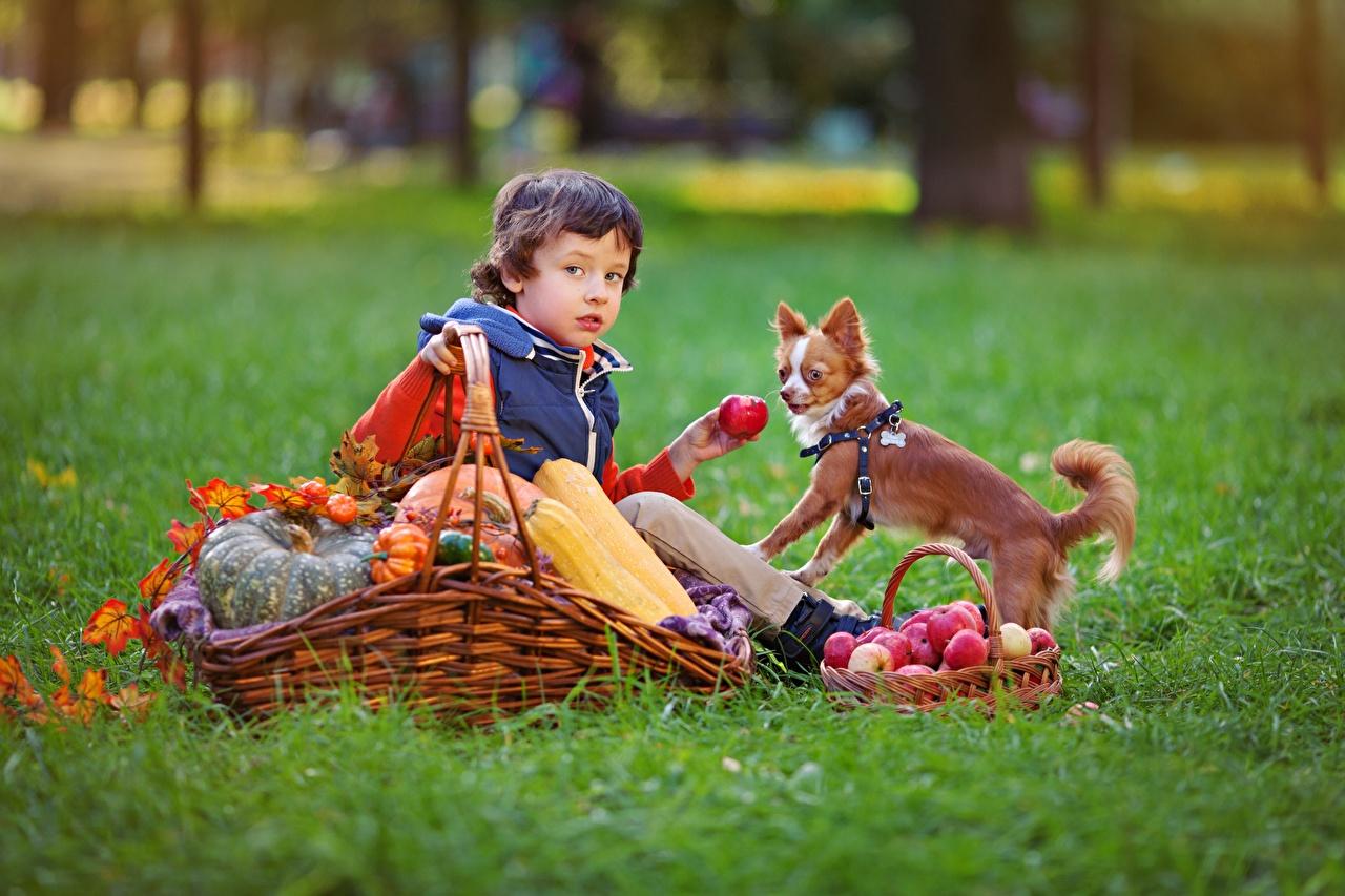 Фотография Собаки мальчишки Дети Осень Яблоки Корзинка Сидит Трава мальчик Мальчики мальчишка Ребёнок осенние корзины Корзина сидя траве сидящие