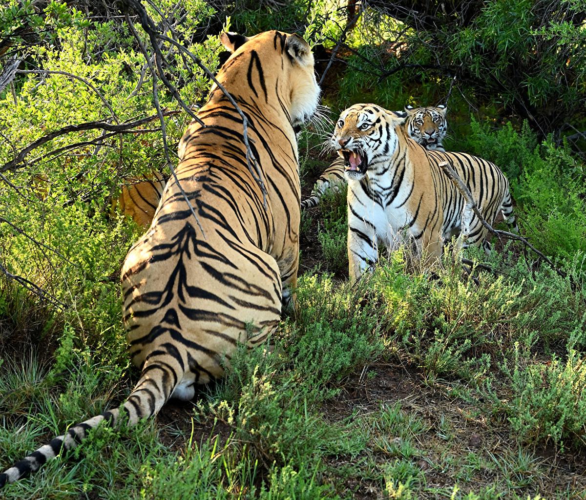 Картинка Тигры Большие кошки Двое злой животное тигр 2 два две вдвоем рычит Оскал злость Животные