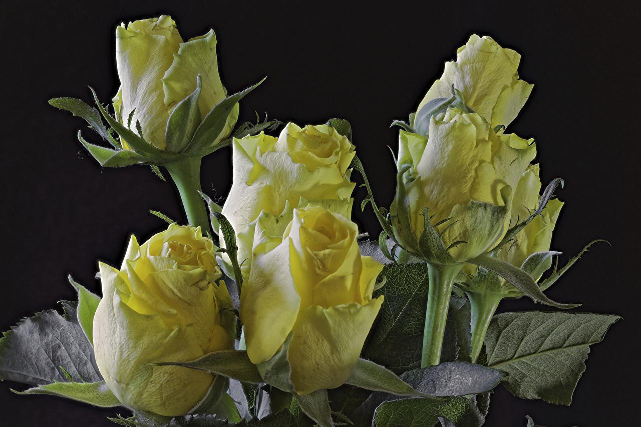 Фотографии Розы Желтый Цветы Черный фон Крупным планом вблизи