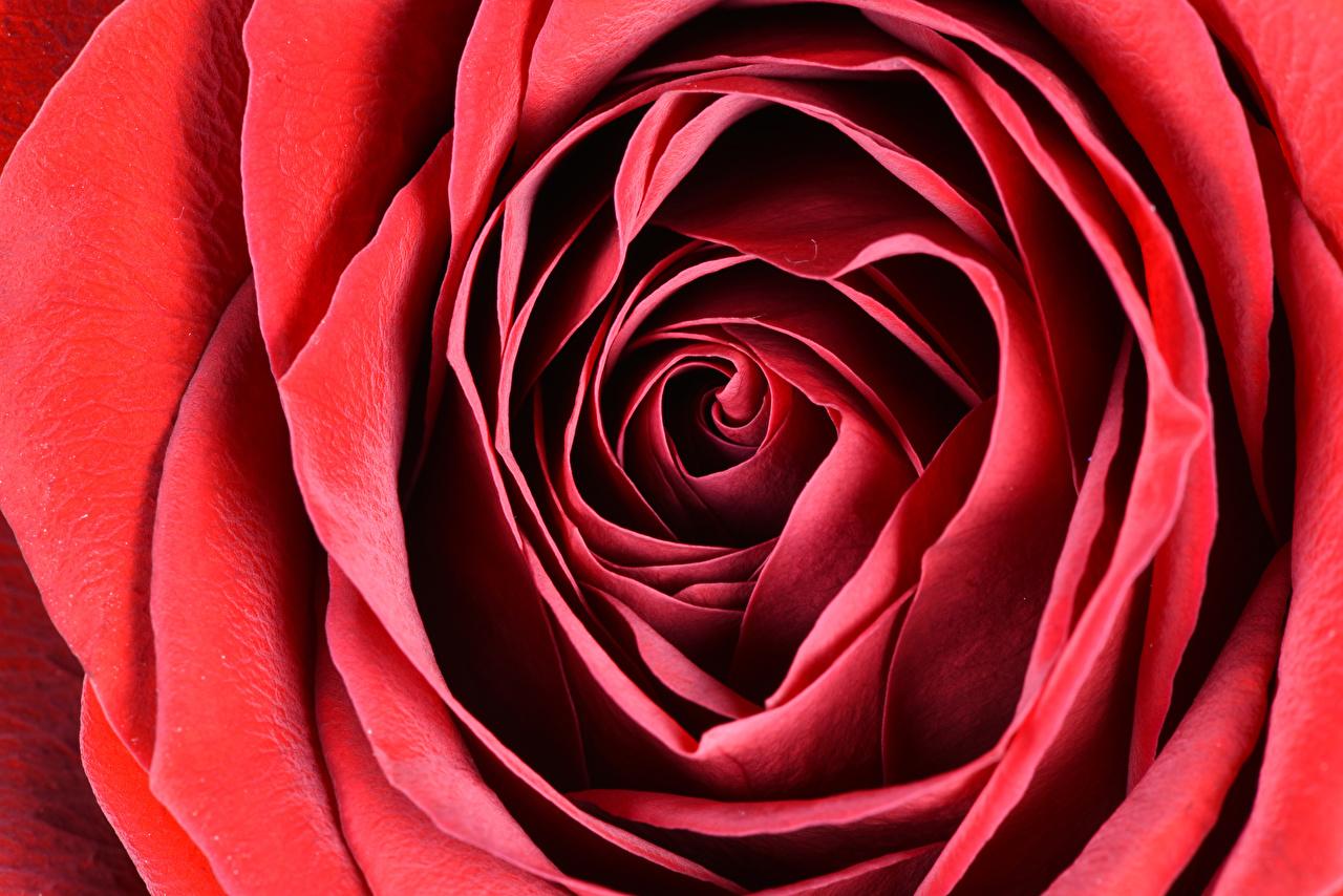 Фотографии Розы Красный Цветы Макро вблизи Макросъёмка Крупным планом
