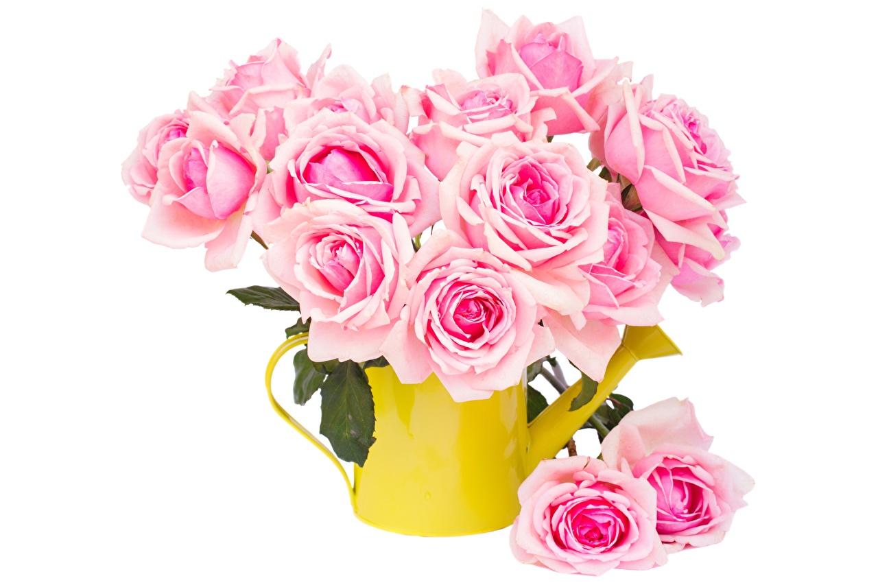 Картинка Розы Розовый цветок белым фоном роза розовая розовые розовых Цветы Белый фон белом фоне