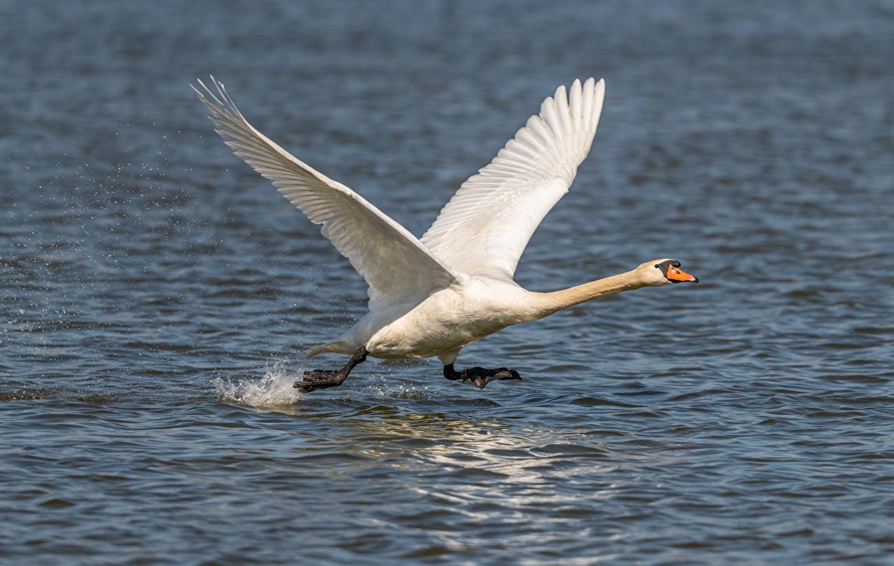 Фотографии Птицы Лебеди взлетает Бег Белый Вода Животные птица лебедь Взлет взлетают бежит бегущий бегущая белых белые белая воде животное