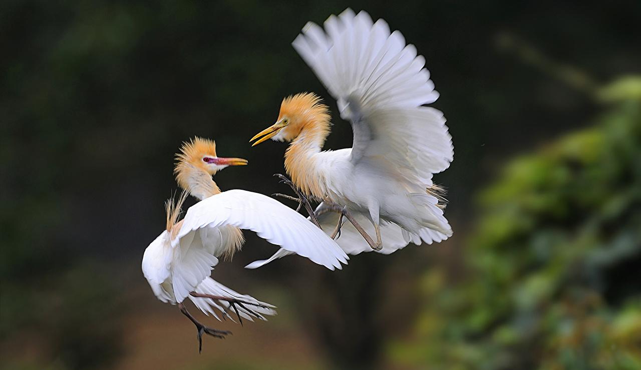 Картинки Цапли Bubulcus ibis Двое Животные цапля 2 два две вдвоем животное