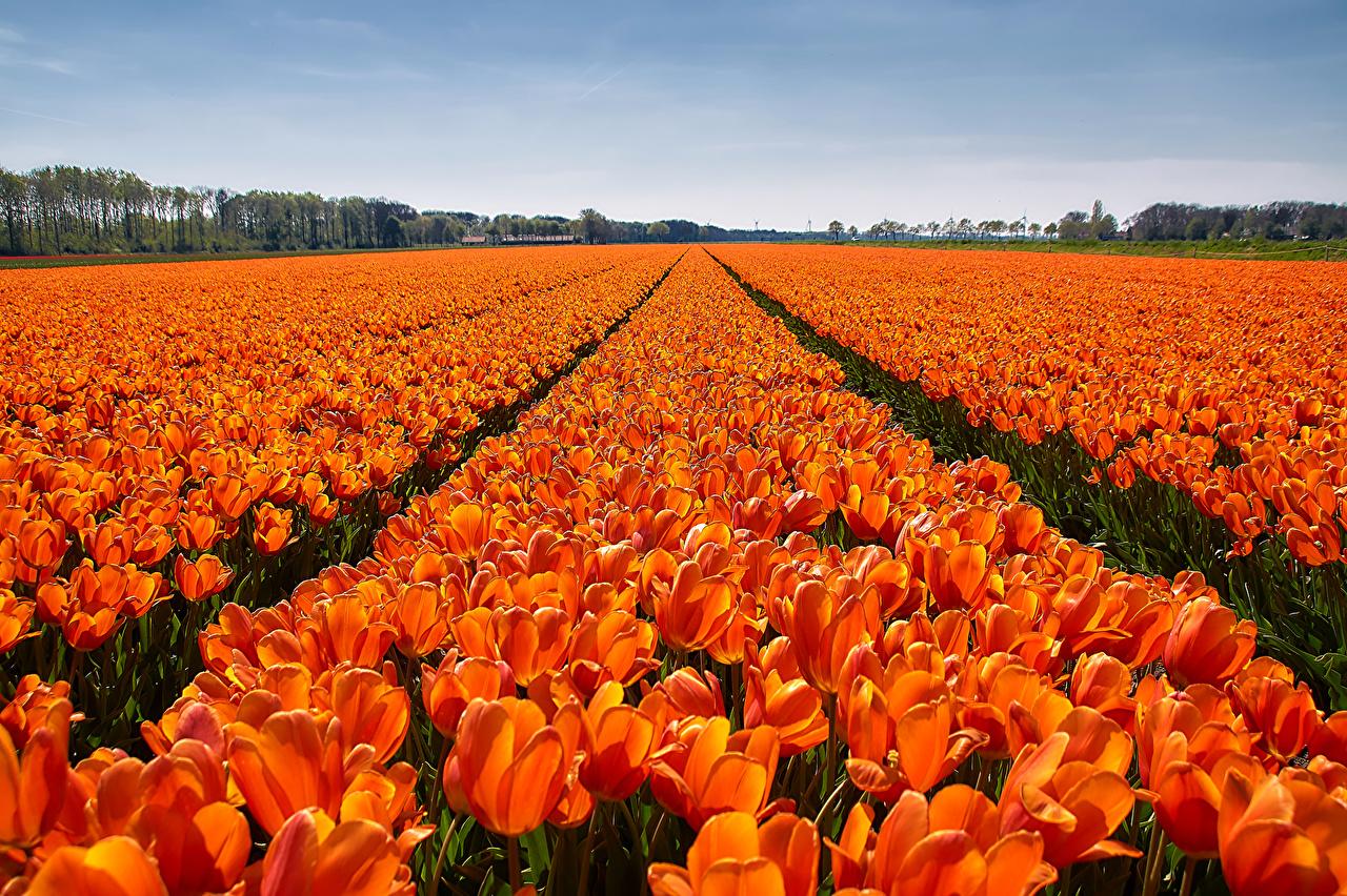 Фото тюльпан Оранжевый Поля Цветы Много Тюльпаны оранжевых оранжевая оранжевые цветок