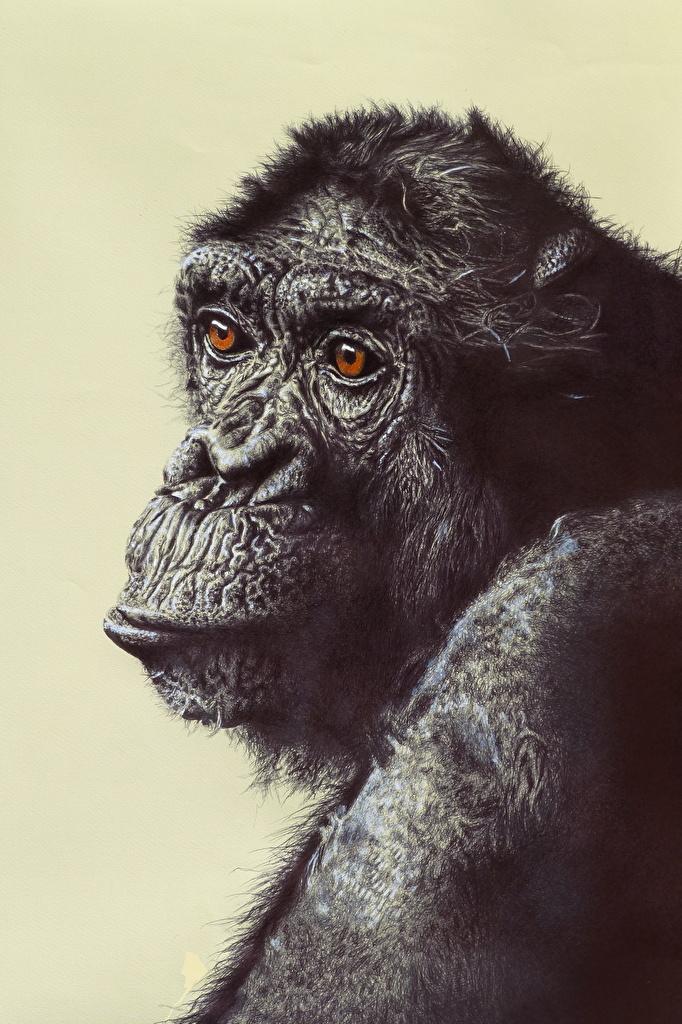 Обои Обезьяны Chimpanzee Морда Животные Рисованные