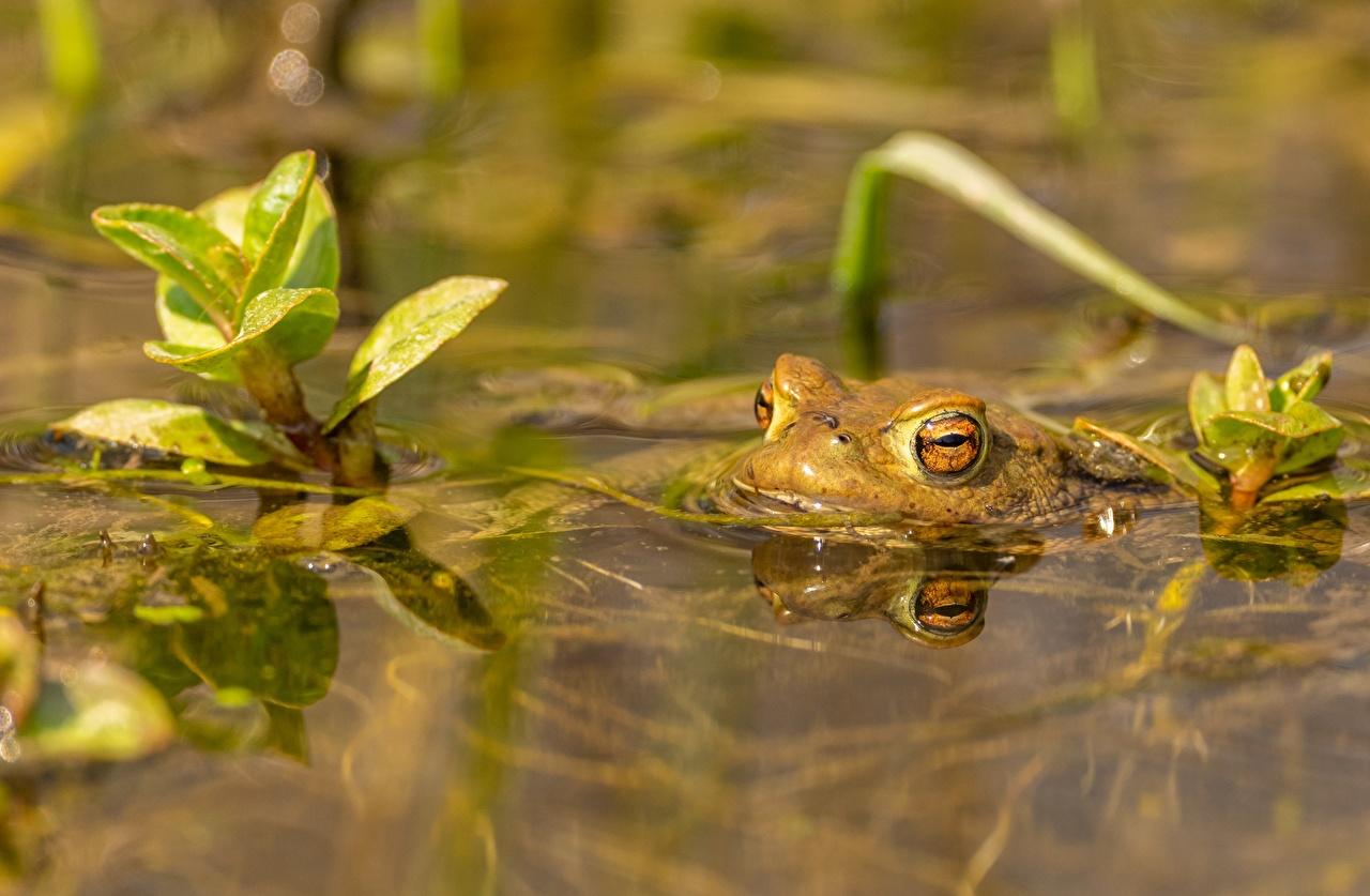 Картинки Лягушки боке Вода животное лягушка Размытый фон воде Животные