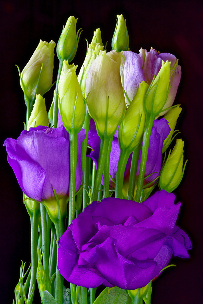 Обои для рабочего стола фиолетовых Цветы Эустома Бутон вблизи Черный фон  для мобильного телефона фиолетовая фиолетовые Фиолетовый цветок Лизантус на черном фоне Крупным планом