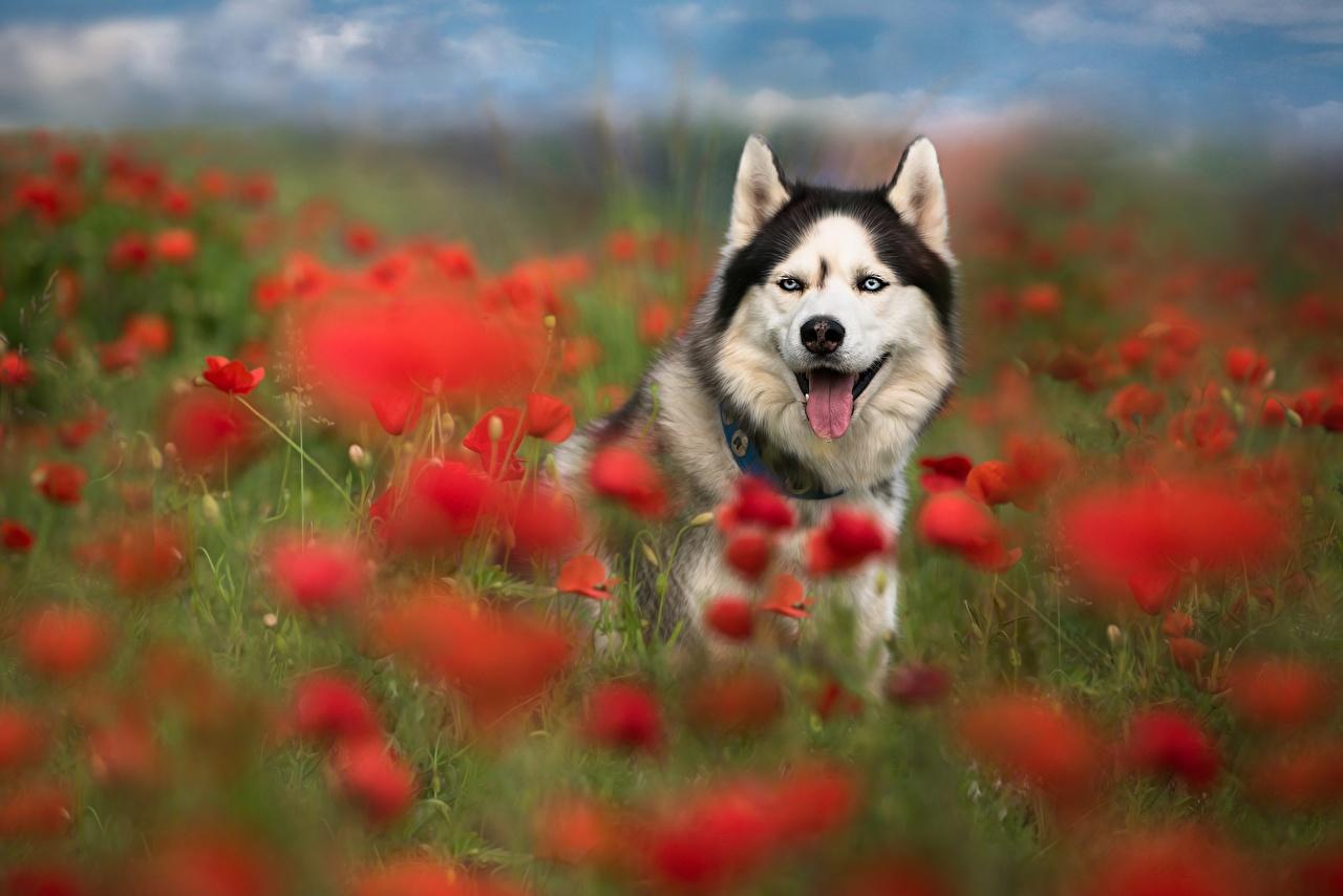 Картинка собака мак Луга Животные Собаки Маки животное