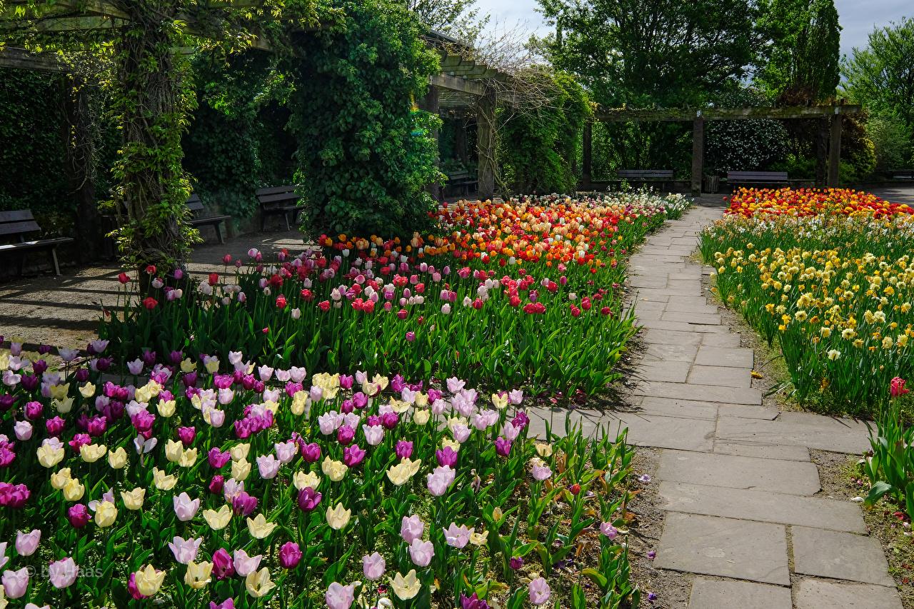 Фото Германия Botanischer Garten Solingen Природа тюльпан Сады Тюльпаны