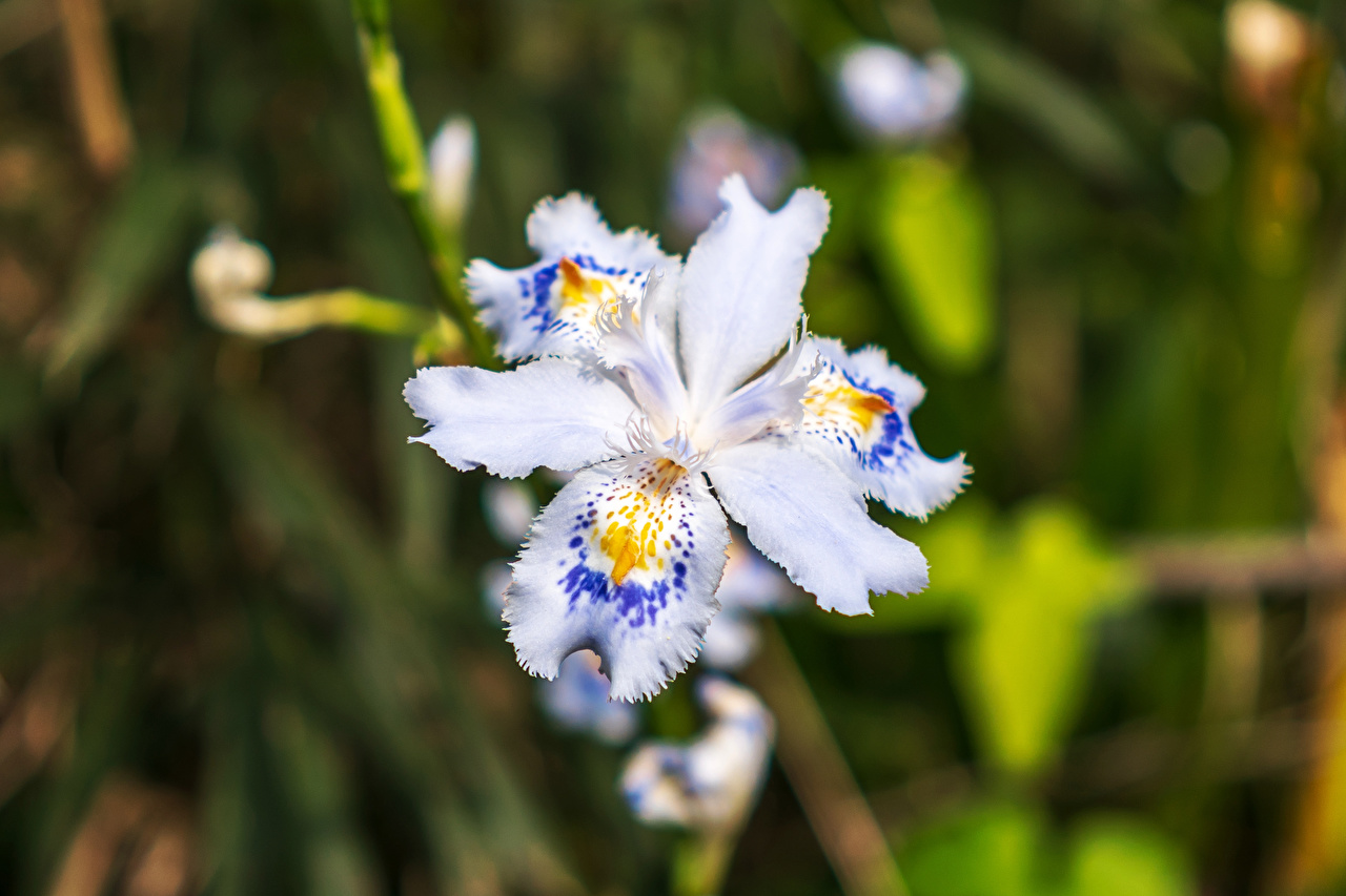 Фотографии Размытый фон ирис Цветы Крупным планом боке Ирисы цветок вблизи