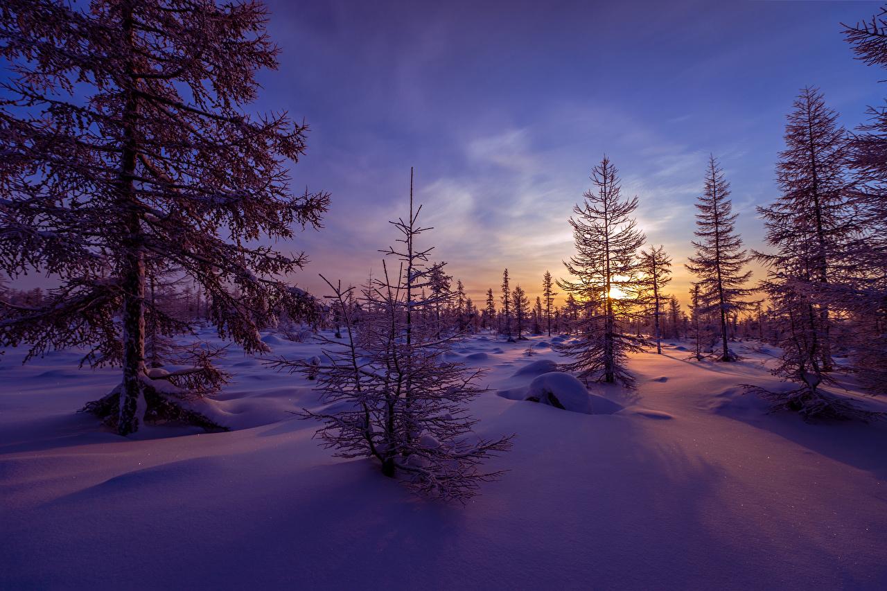 Фото Ель зимние Природа Снег рассвет и закат Вечер сезон года ели Зима снеге снегу снега Рассветы и закаты Времена года
