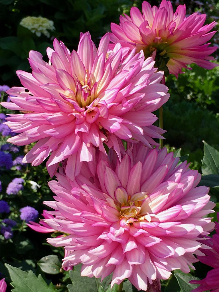 Картинка розовая Цветы Георгины вблизи  для мобильного телефона Розовый розовые розовых цветок Крупным планом