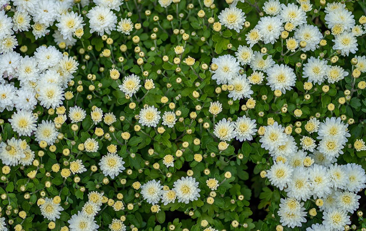 Фотографии белая Цветы Хризантемы Много Бутон Белый белые белых цветок