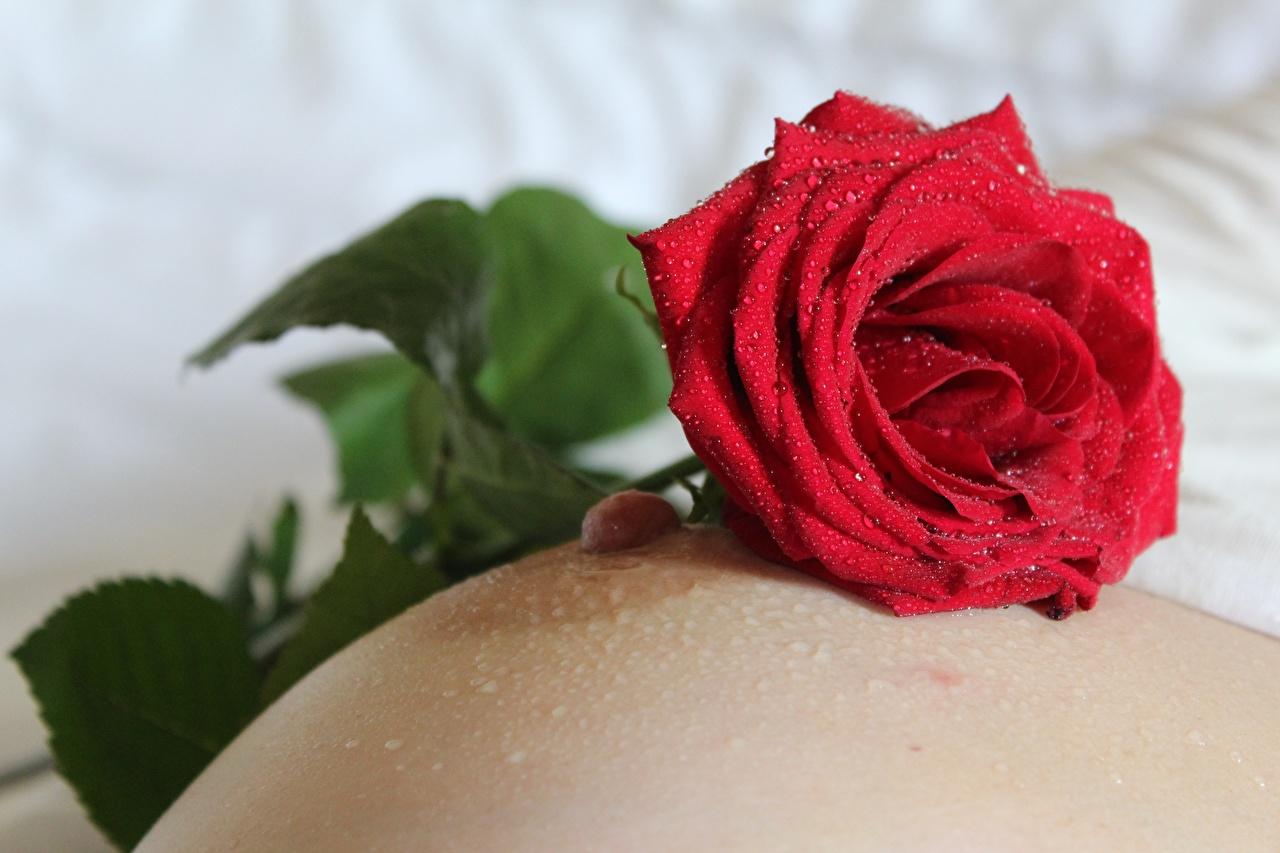Фото груди Розы Девушки Красный капельки вблизи Грудь красных красные красная капля Капли капель Крупным планом Эротика