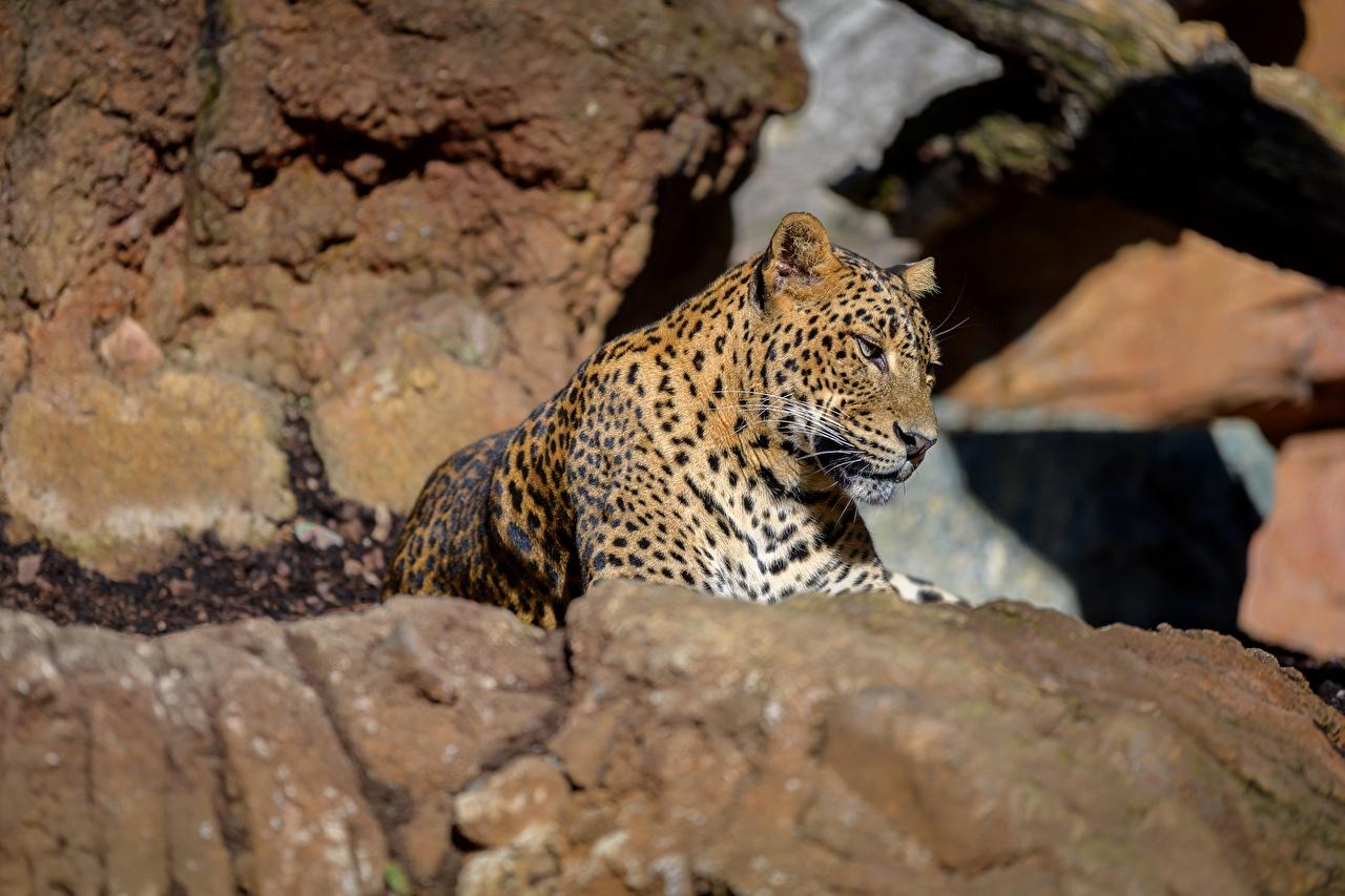 Картинка Леопарды лежа Камень животное леопард Лежит лежат лежачие Камни Животные