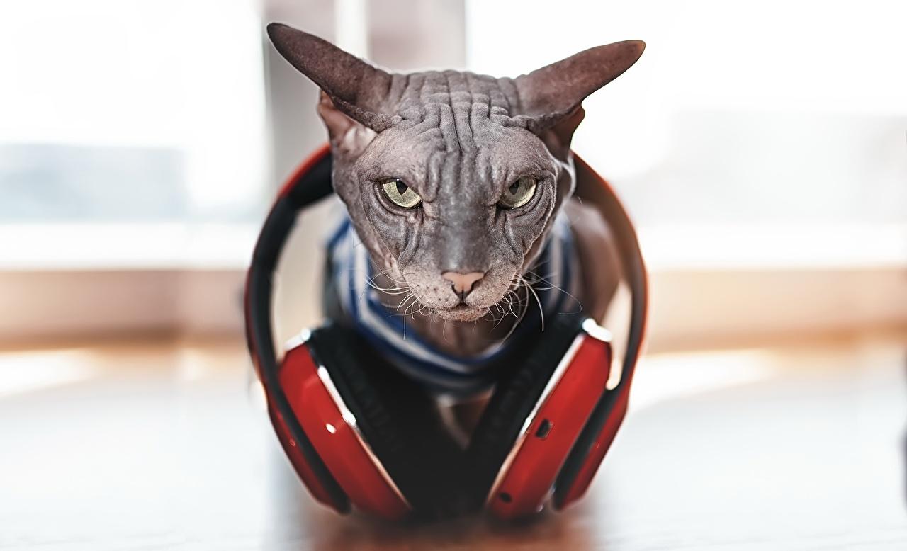 Фотографии Сфинкс кошка Кошки Наушники Хмурость Размытый фон животное кот коты кошка в наушниках Недовольство боке Животные