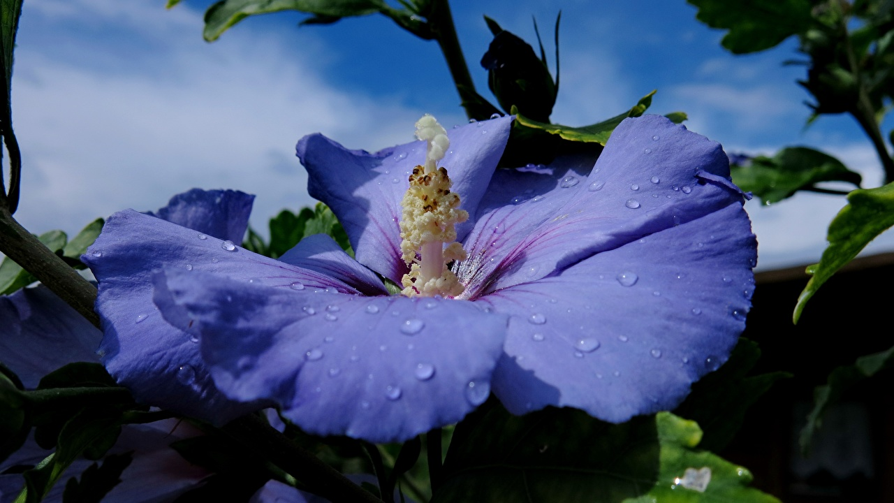 Фотографии Hibiscus Syriacus Синий цветок капельки Гибискусы Крупным планом синих синие синяя Цветы Капли капля капель вблизи