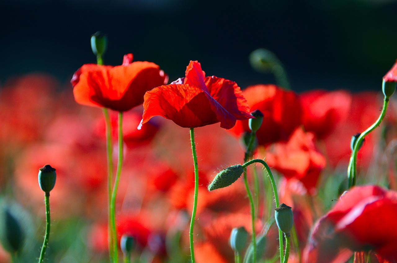 Обои для рабочего стола Размытый фон красных мак цветок Бутон Крупным планом боке красная красные Красный Маки Цветы вблизи