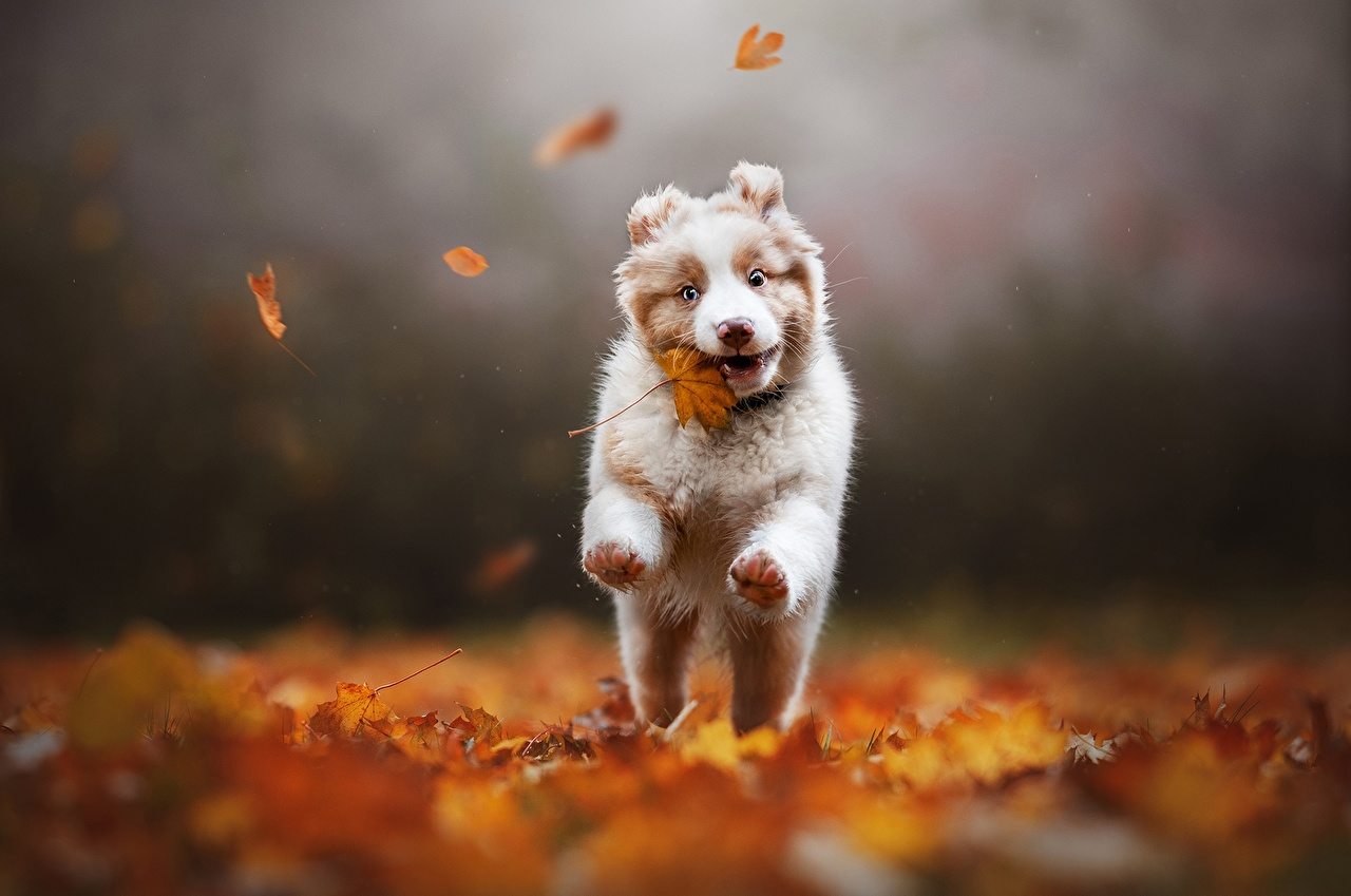 Картинки аусси собака Листва бегущий Размытый фон осенние животное Австралийская овчарка Собаки лист Листья Бег бежит бегущая боке Осень Животные