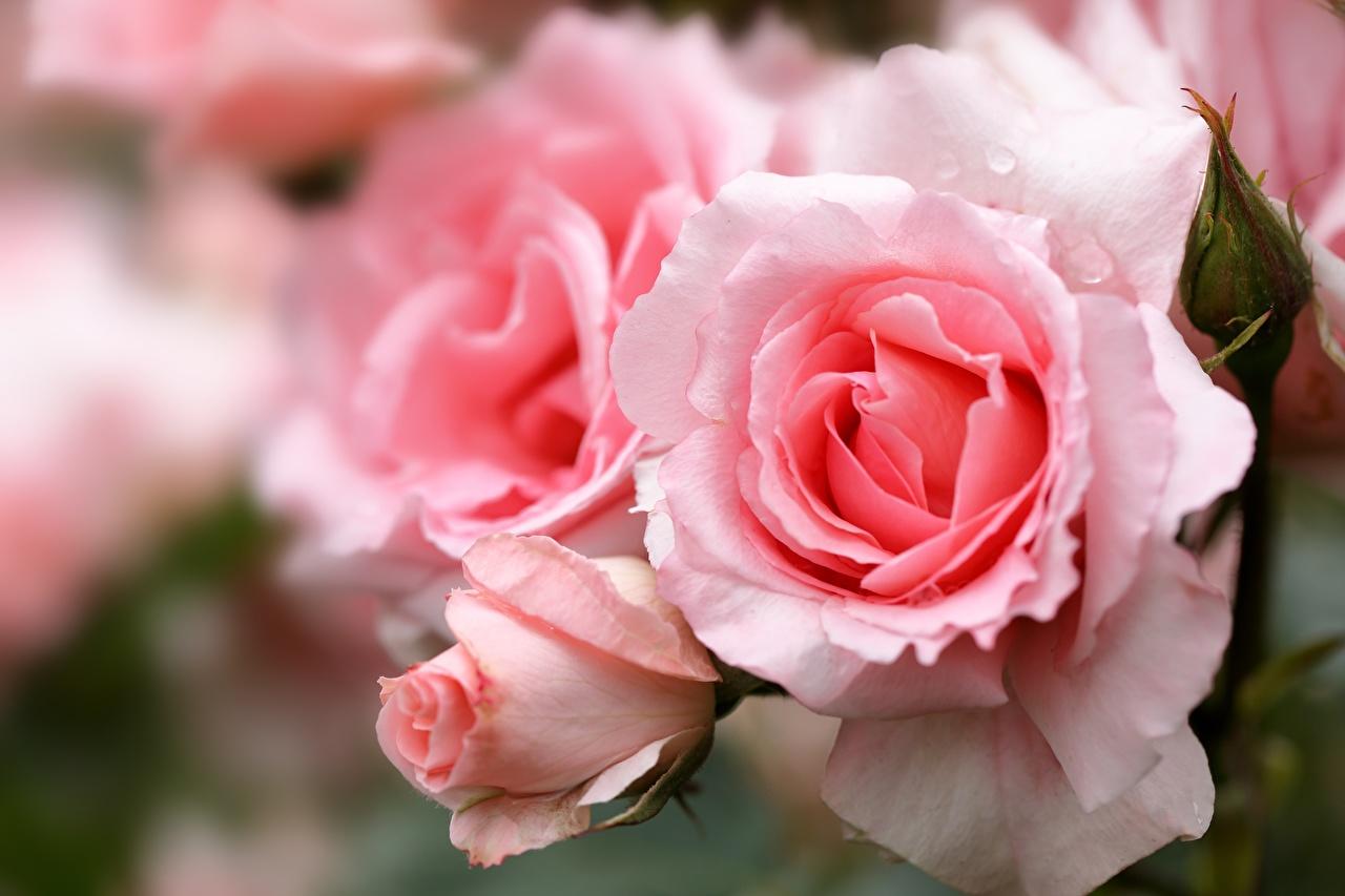 Фото Розы розовые цветок Крупным планом роза розовая Розовый розовых Цветы вблизи
