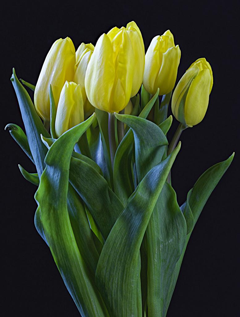 Фото Желтый Тюльпаны Цветы Черный фон
