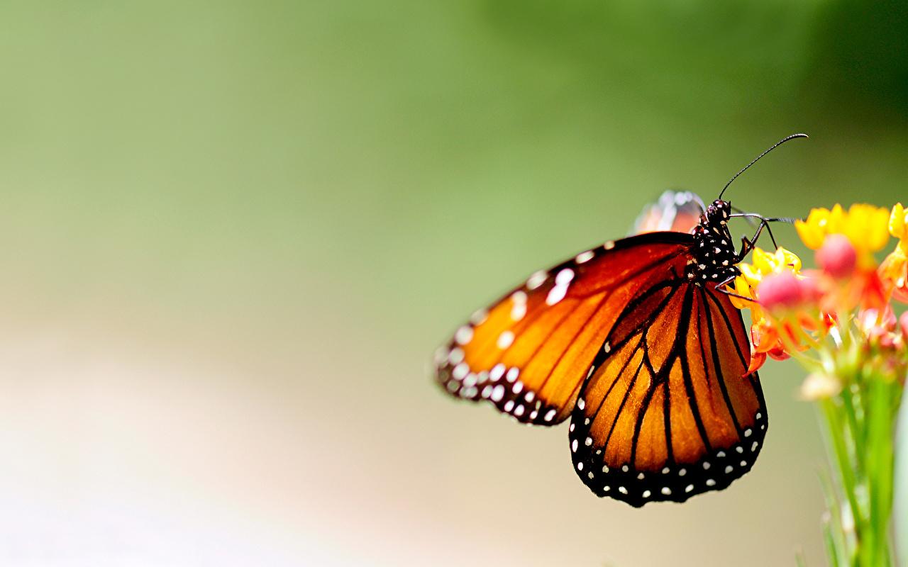 Обои для рабочего стола Данаида монарх Бабочки насекомое животное бабочка Насекомые Животные
