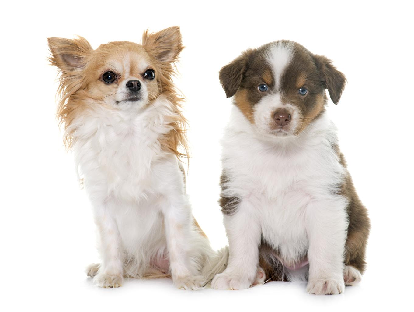 Фотография щенки Овчарка Чихуахуа Кошки Собаки два Животные белом фоне щенка Щенок щенков овчарки Коты 2 две Двое вдвоем животное Белый фон белым фоном