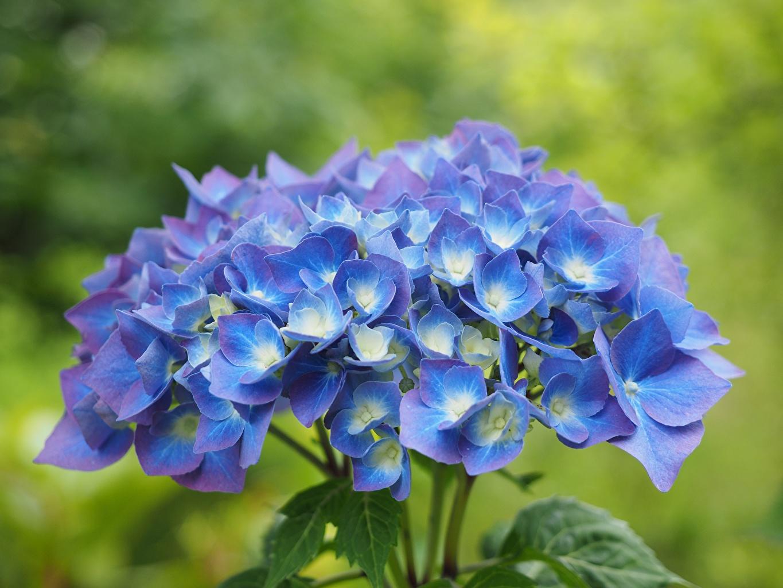Фото Размытый фон Синий цветок Гортензия Крупным планом боке синяя синие синих Цветы вблизи