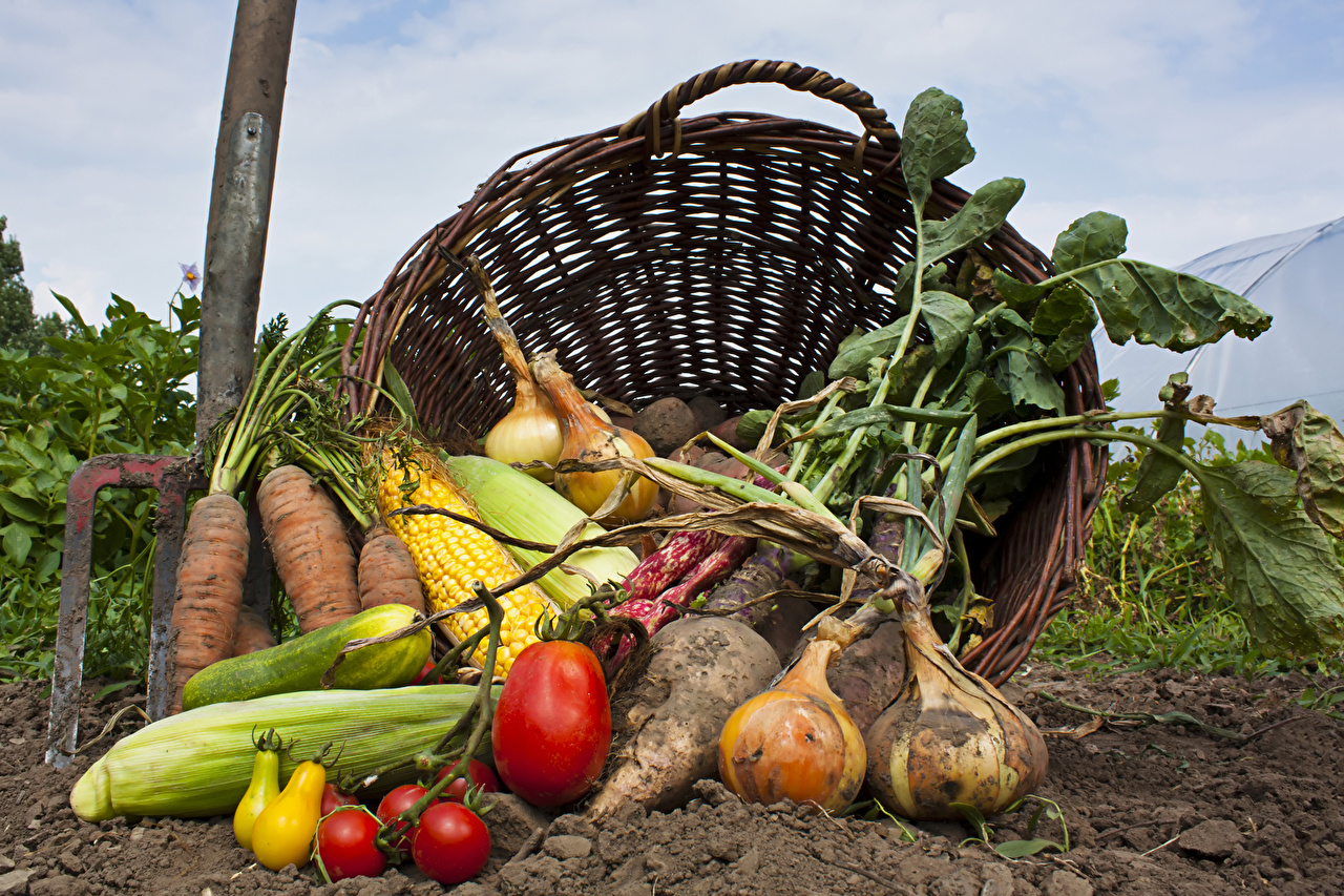 Фото земля Морковь Помидоры Кукуруза Лук репчатый корзины Еда Овощи Почва Томаты Корзина Корзинка Пища Продукты питания