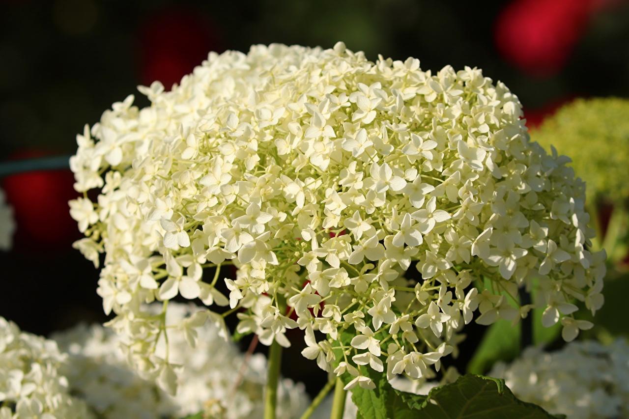 Картинки Белый Цветы Гортензия вблизи белых белые белая цветок Крупным планом