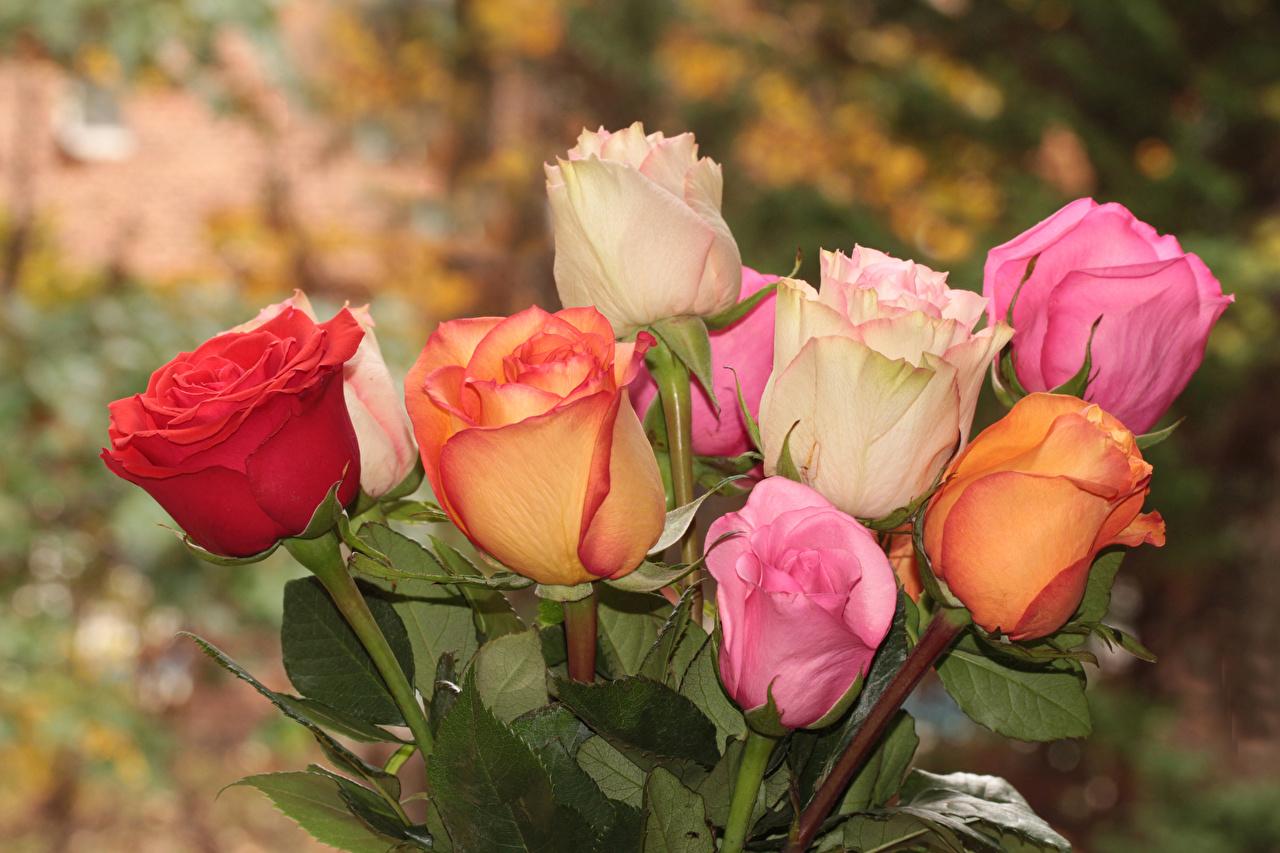 Фотографии Разноцветные Розы Цветы вблизи роза цветок Крупным планом