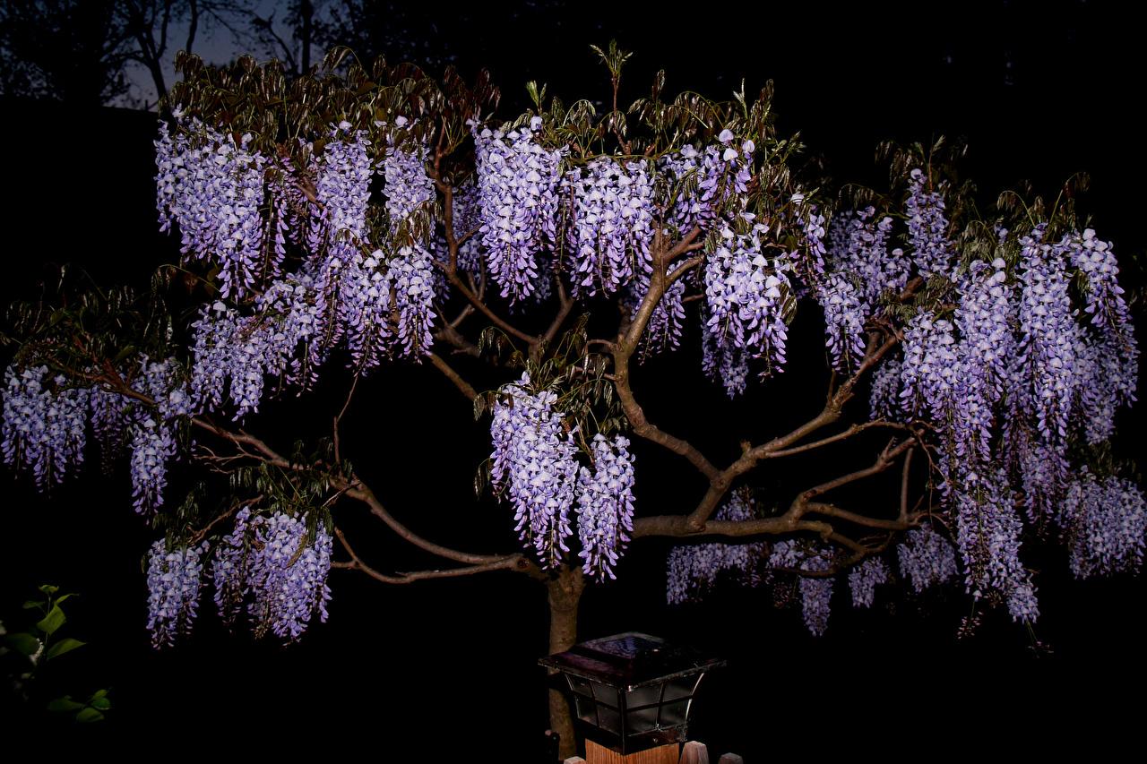Фотография цветок Вистерия Ночные на ветке Цветы Глициния Ночь Ветки ветка ночью ветвь в ночи