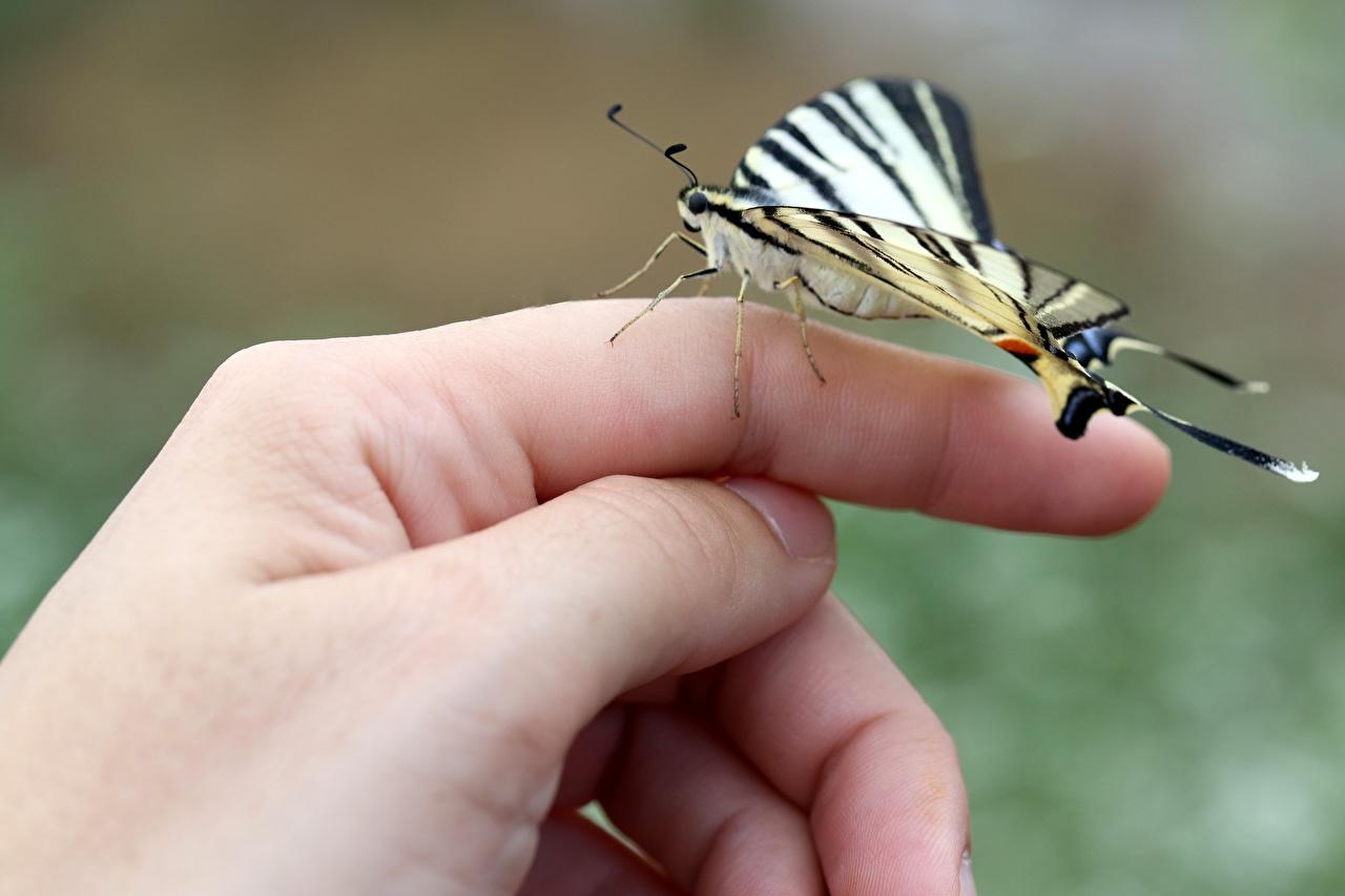 Фотография бабочка Природа рука Пальцы вблизи Бабочки Руки Крупным планом