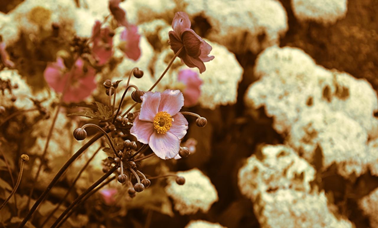 Фотография боке Розовый цветок Анемоны Размытый фон розовая розовые розовых Цветы Ветреница