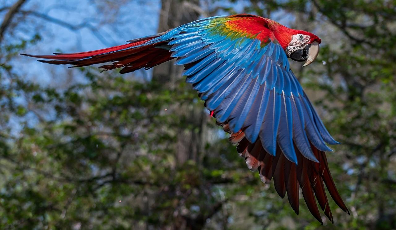 Картинка Ара (род) птица Попугаи Крылья летит Животные Птицы летят Полет летящий животное