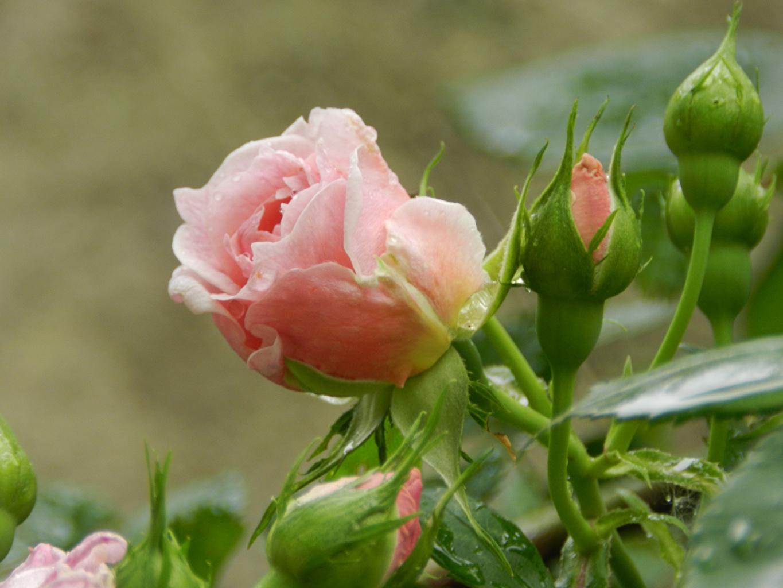 Картинки роза розовая цветок Бутон Розы розовых Розовый розовые Цветы