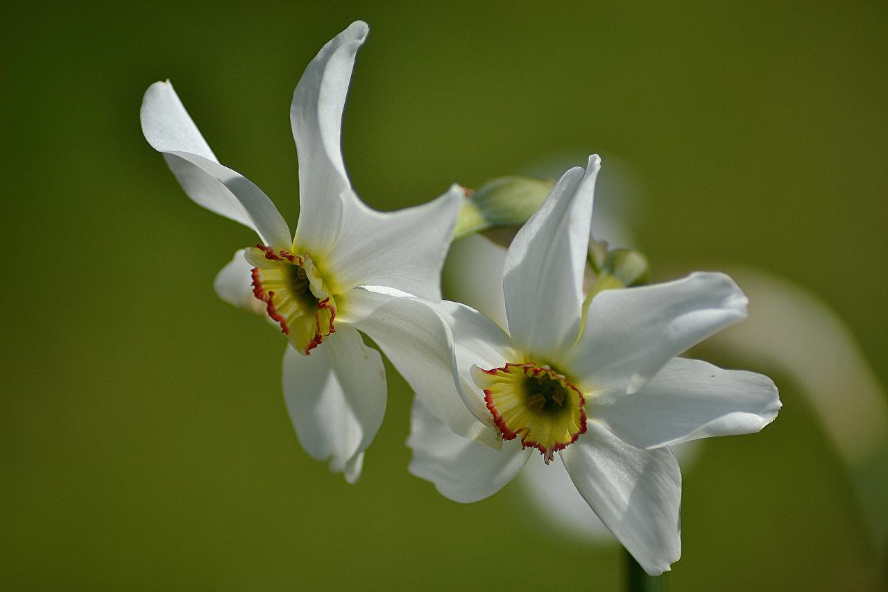 Картинка Двое Белый Цветы Нарциссы вблизи 2 вдвоем Крупным планом