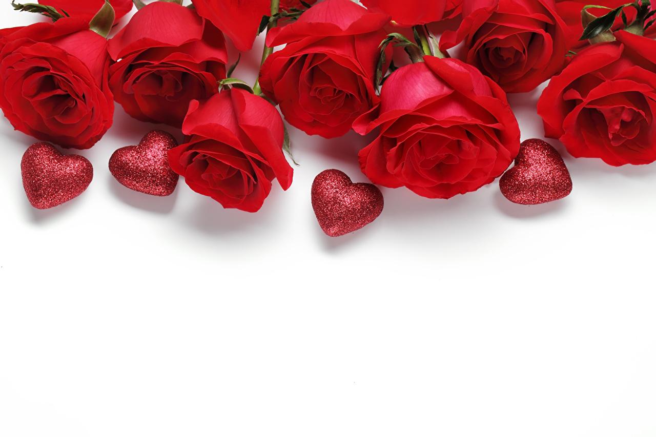 Фотография День всех влюблённых сердечко роза Красный Шаблон поздравительной открытки белым фоном День святого Валентина серце сердца Сердце Розы красных красная красные Белый фон белом фоне