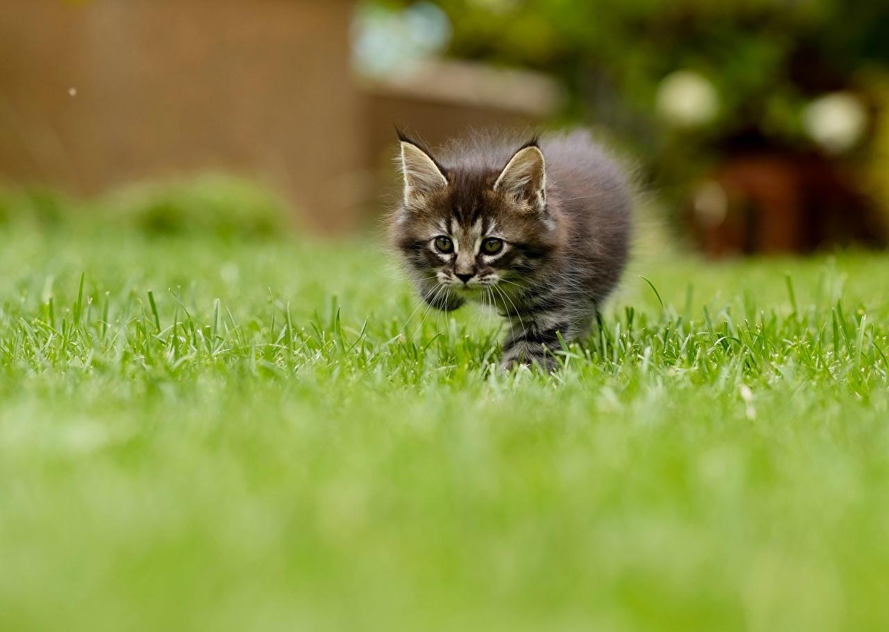Фотографии котенок кот Размытый фон траве смотрят Животные котят Котята котенка коты кошка Кошки боке Трава Взгляд смотрит животное