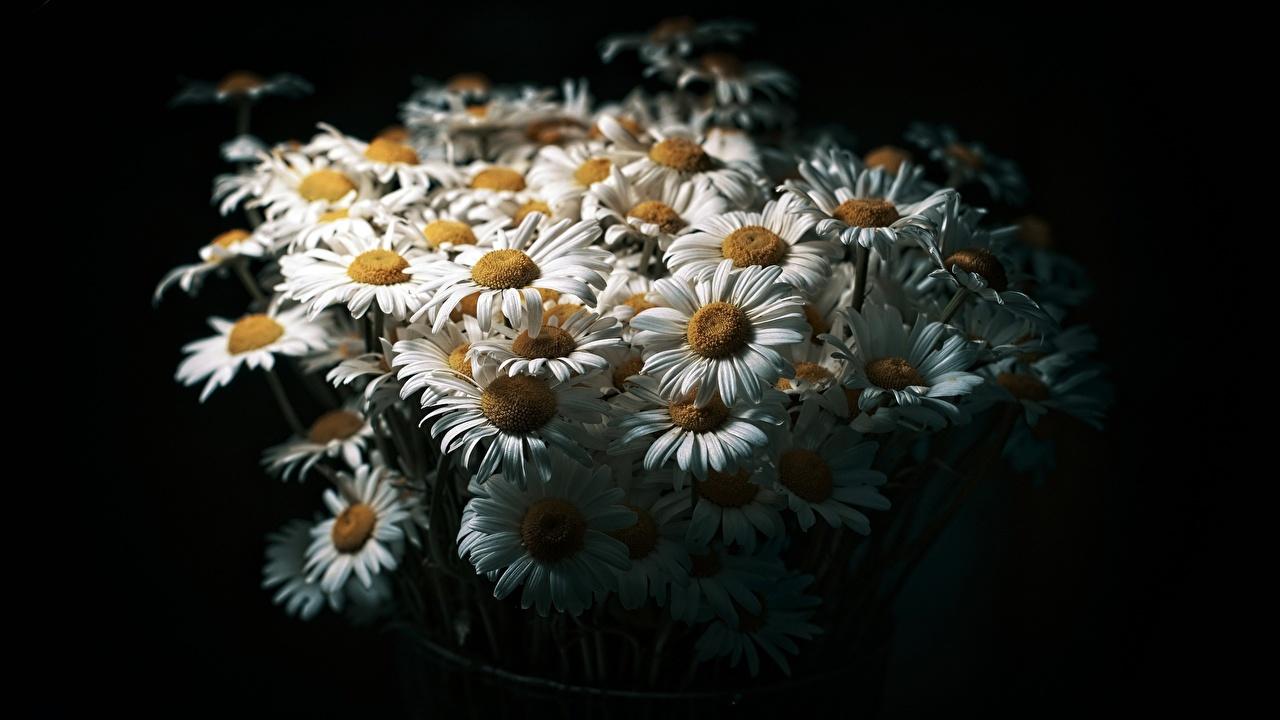 Картинки Букеты Цветы Ромашки на черном фоне букет цветок ромашка Черный фон